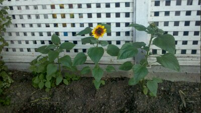 Project 365-180: Sunflowers